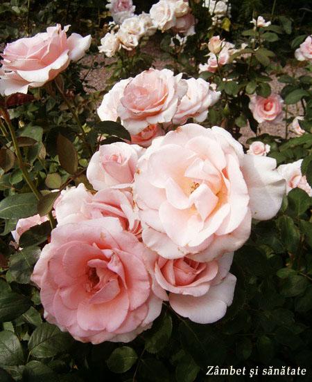 gradina-botanica-varsovia-trandafiri