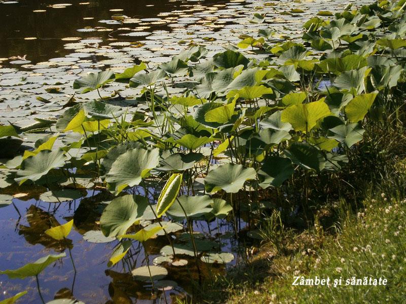 lotusi-parcul-circului-Bucuresti