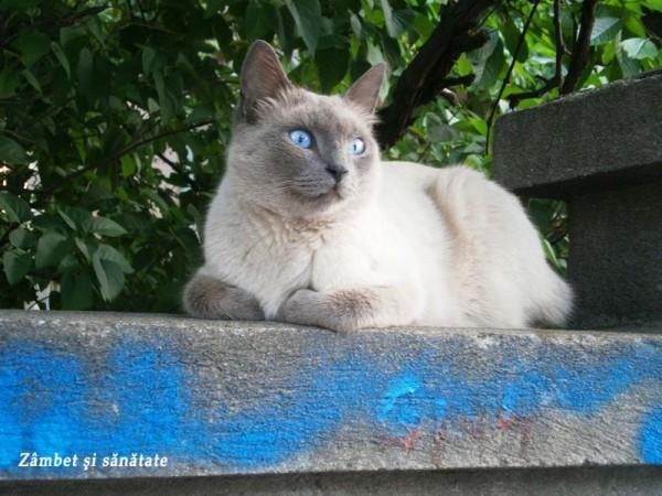 pisica-pufoasa-cu-ochi-albastri