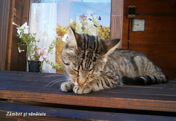 pisica-cetatea-cisnadioara