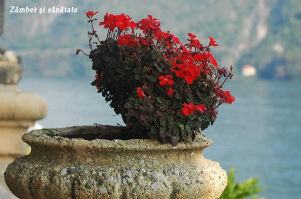 flori rosii como