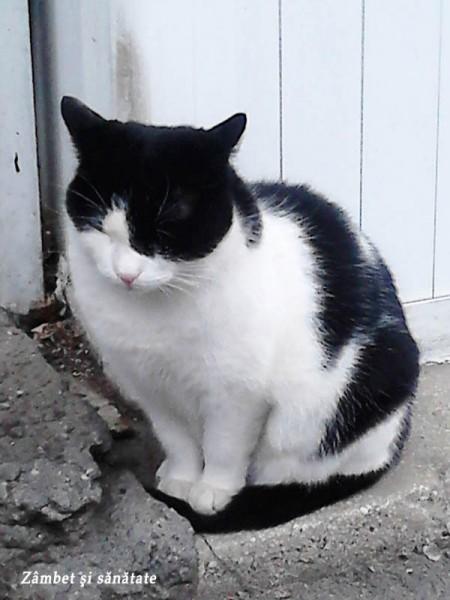 pisic cu alb si negru